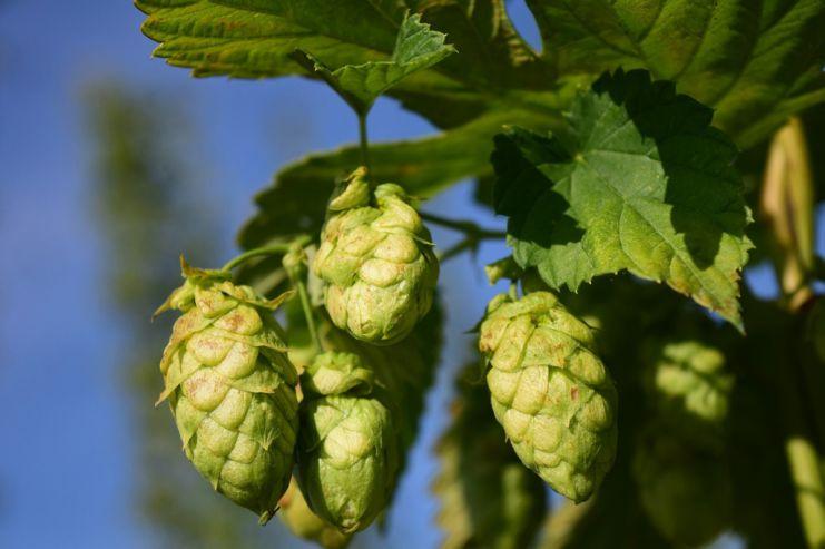 Пиво помогает вборьбе сомногими заболеваниями  — Ученые
