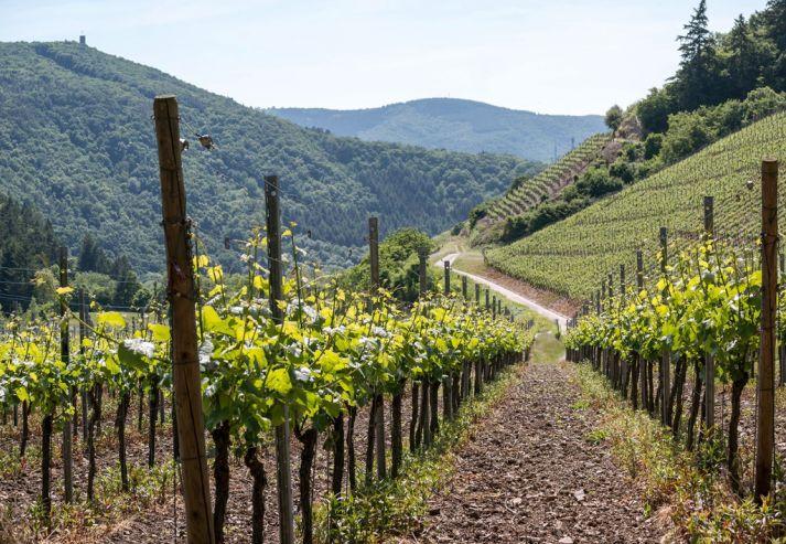 «Абрау-Дюрсо» купила наКубани землю под высадку виноградников за268 млн