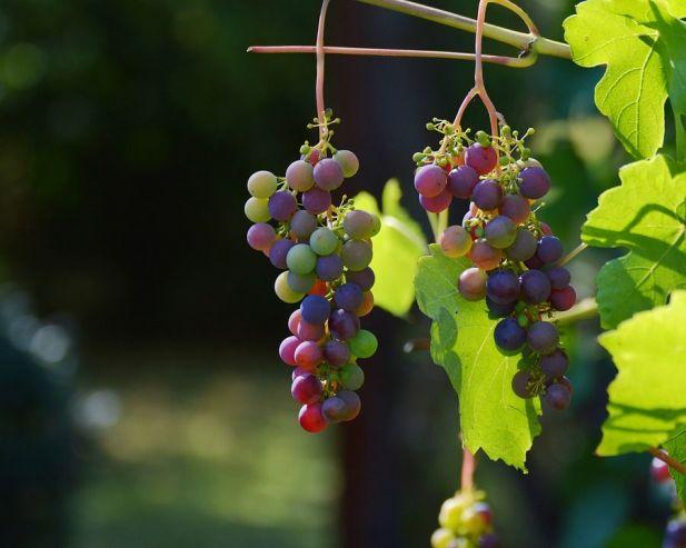 Пиво с виноградом: тонкости сорта